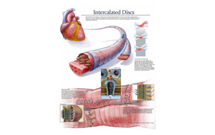 Histological poster of Intercalated discs